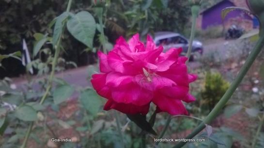 Goa-flowers (5)